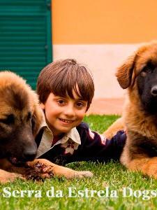 Estrela Mountain Dog, Serra da Estrela Dog